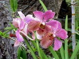 Purple Orchids, Kaneohe, Oahu, Hawaii